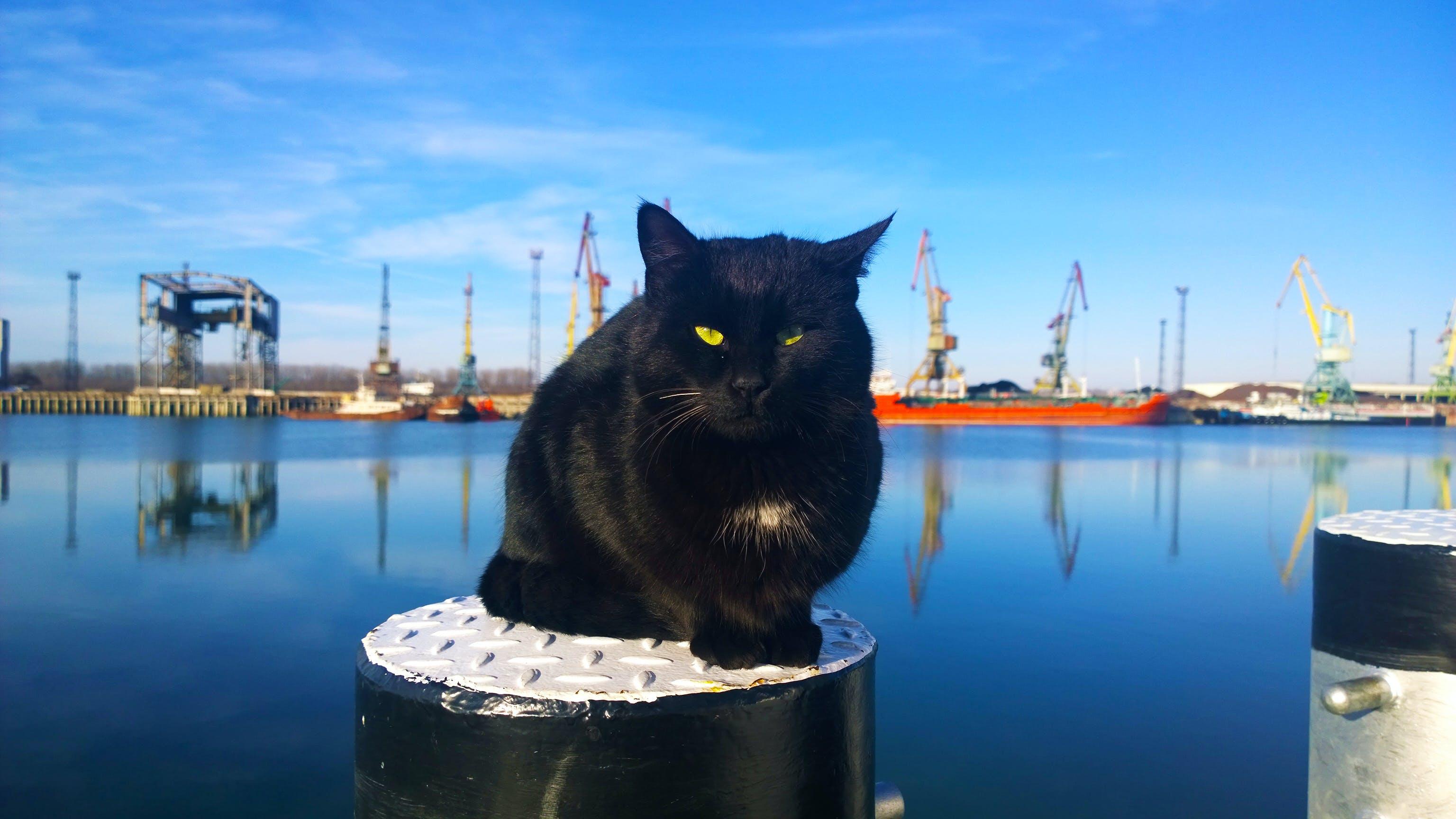 Free stock photo of black, cat, danube, donau