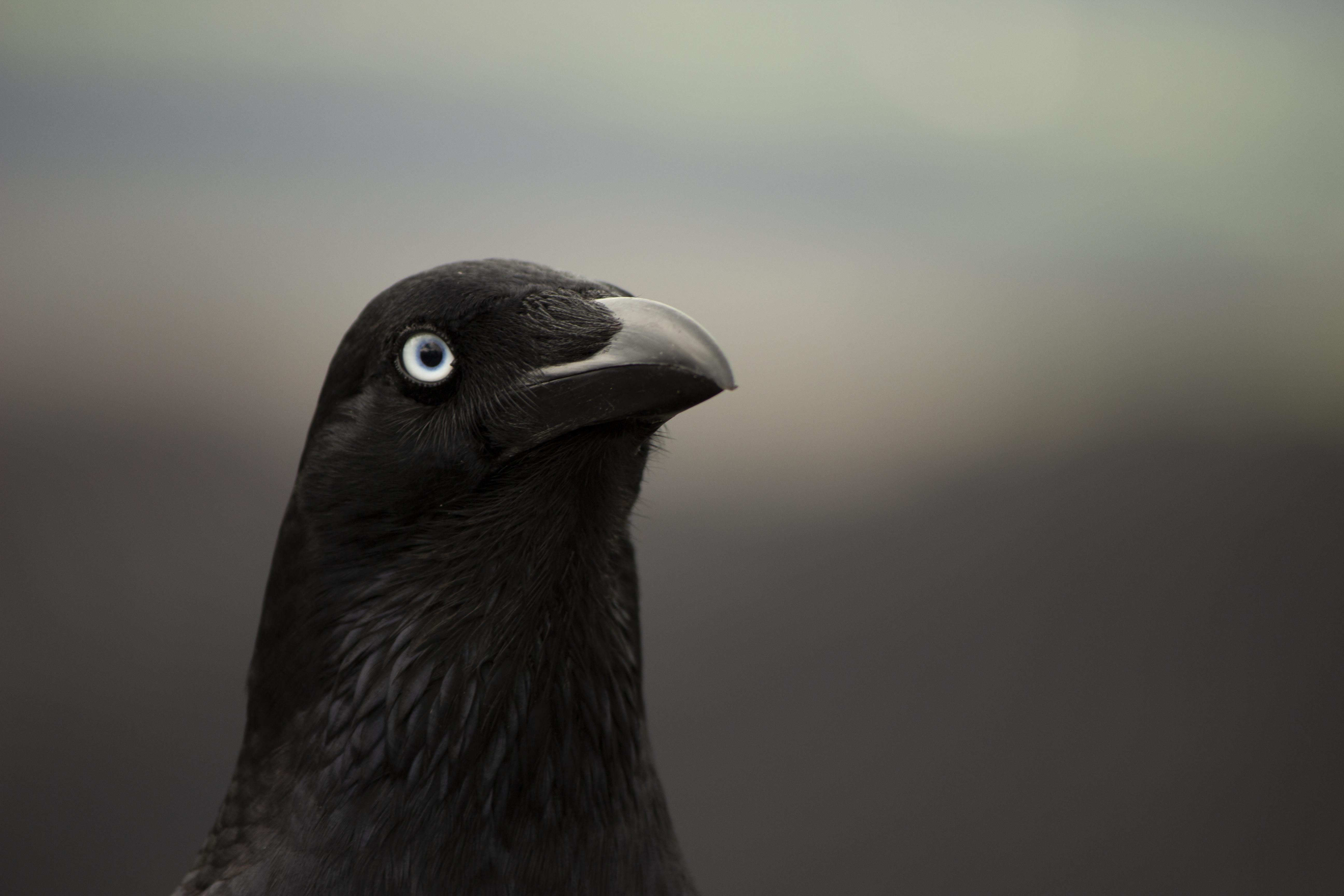 μια φωτογραφία του ένα μεγάλο μαύρο πουλίνέος Ασιάτης/ισσα πορνό εικόνα