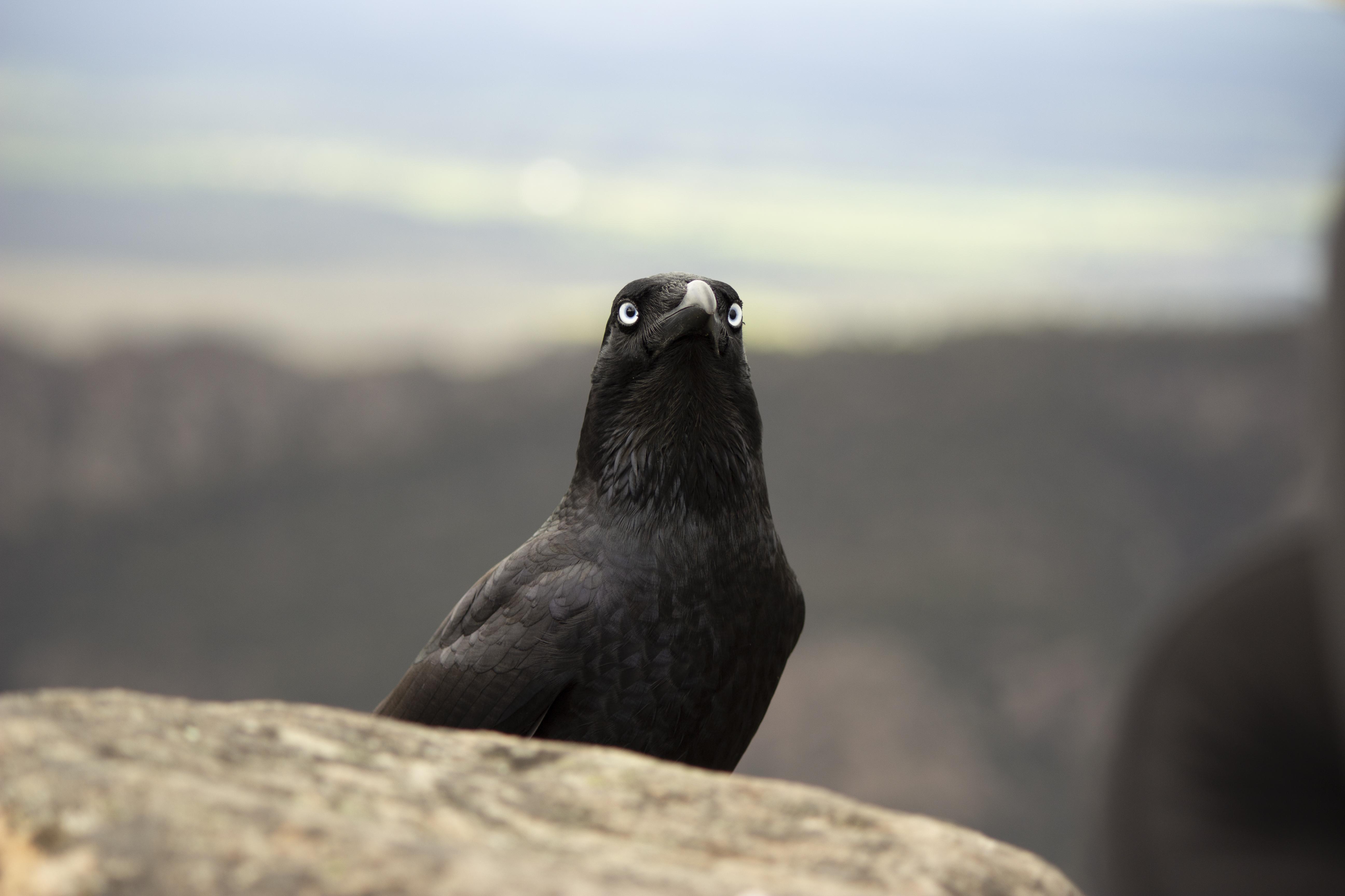Ωραίο μεγάλο μαύρο πουλί