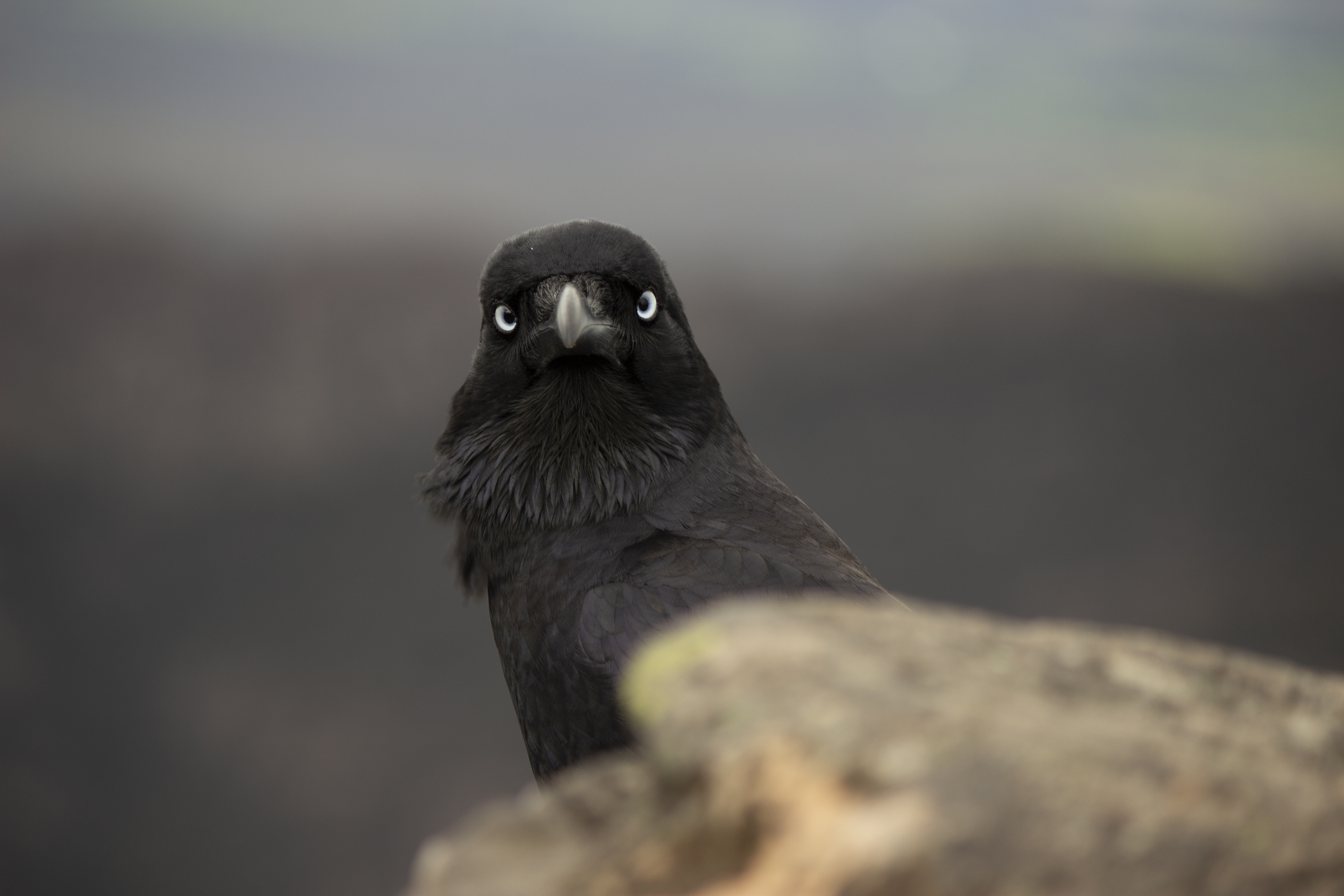 Δείξτε μου μεγάλο μαύρο πουλί