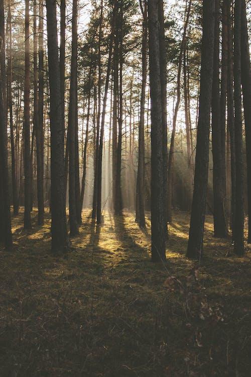 Ingyenes stockfotó erdő, fák, fenyőfák, háttérvilágítás témában