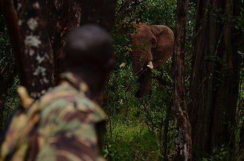 Δωρεάν στοκ φωτογραφιών με ngare ndare forest, αφρικανικός ελέφαντας, ελέφαντας, φύλακας παιχνιδιών