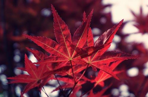 Ilmainen kuvapankkikuva tunnisteilla japanilainen vaahtera, kasvikunta, kauneus luonnossa, kaunis