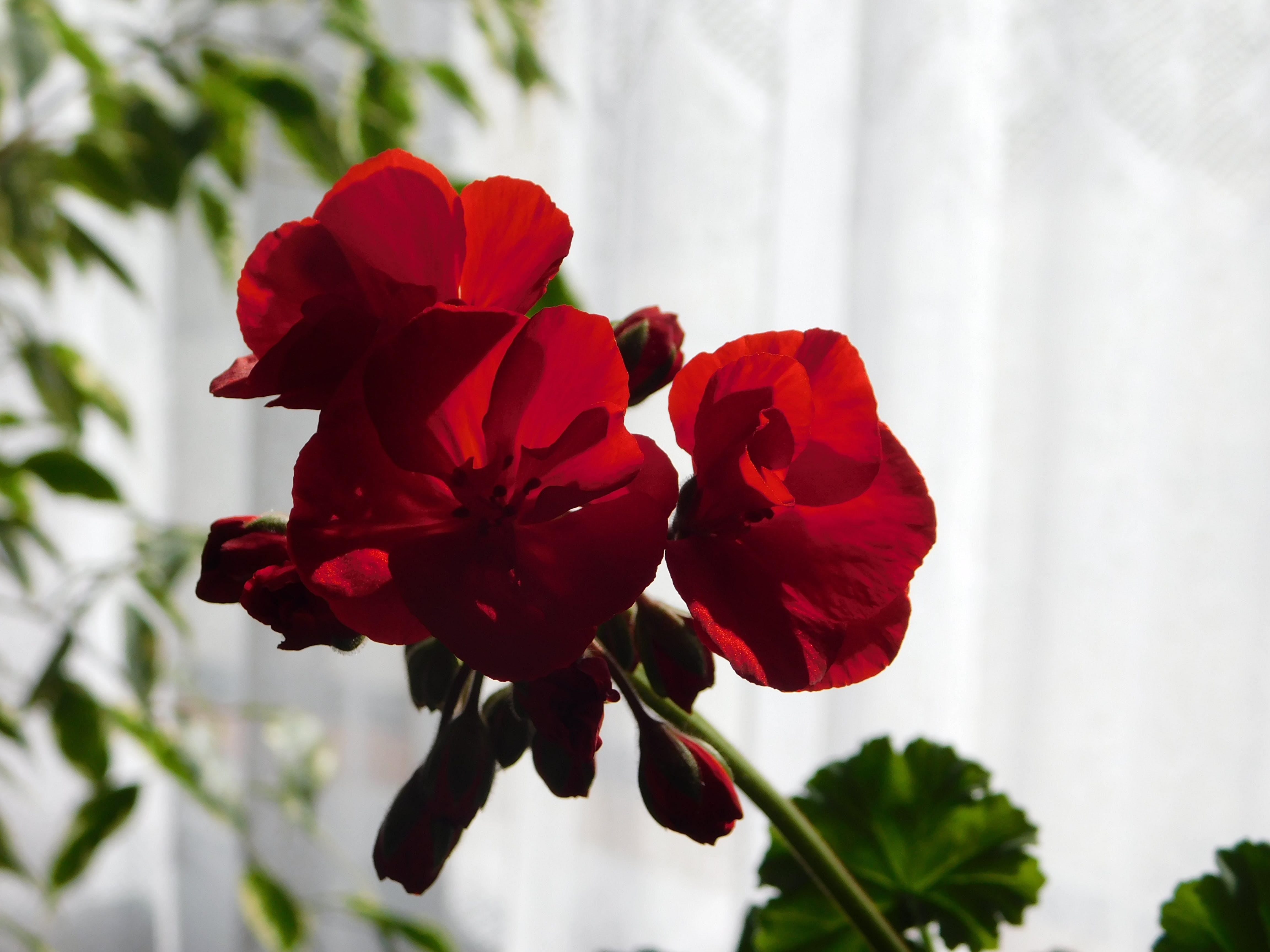 Free stock photo of home grown geranium
