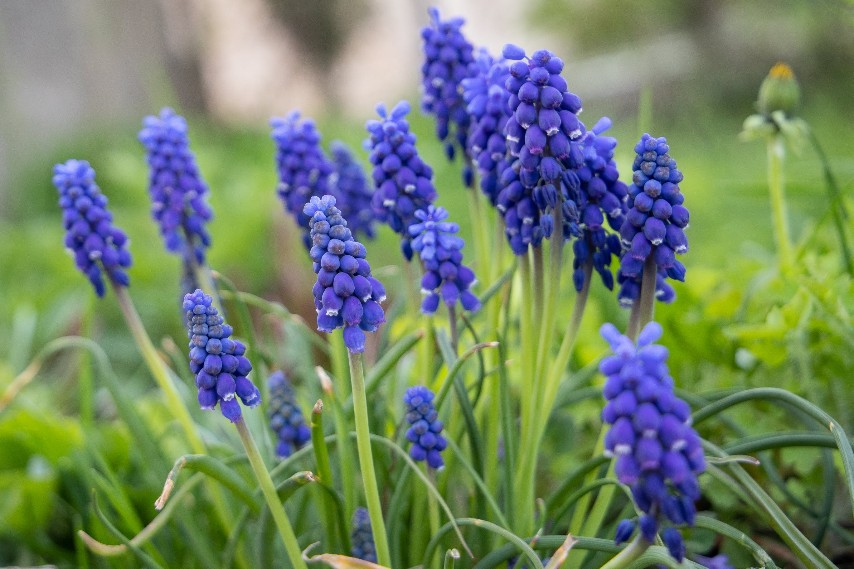 Photos gratuites de muscari