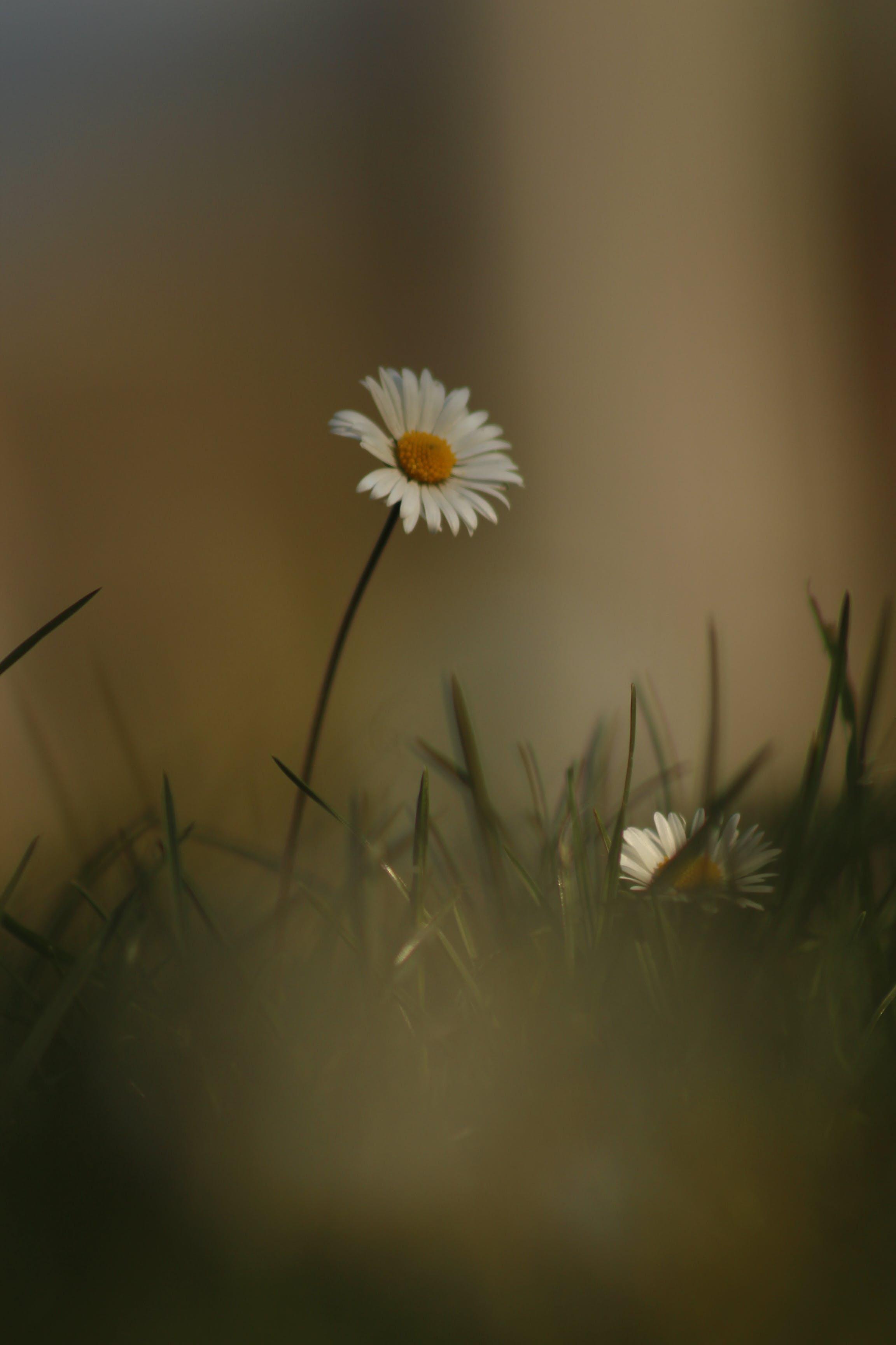 Beyaz çiçek, beyaz papatya, bitki, bitki örtüsü içeren Ücretsiz stok fotoğraf