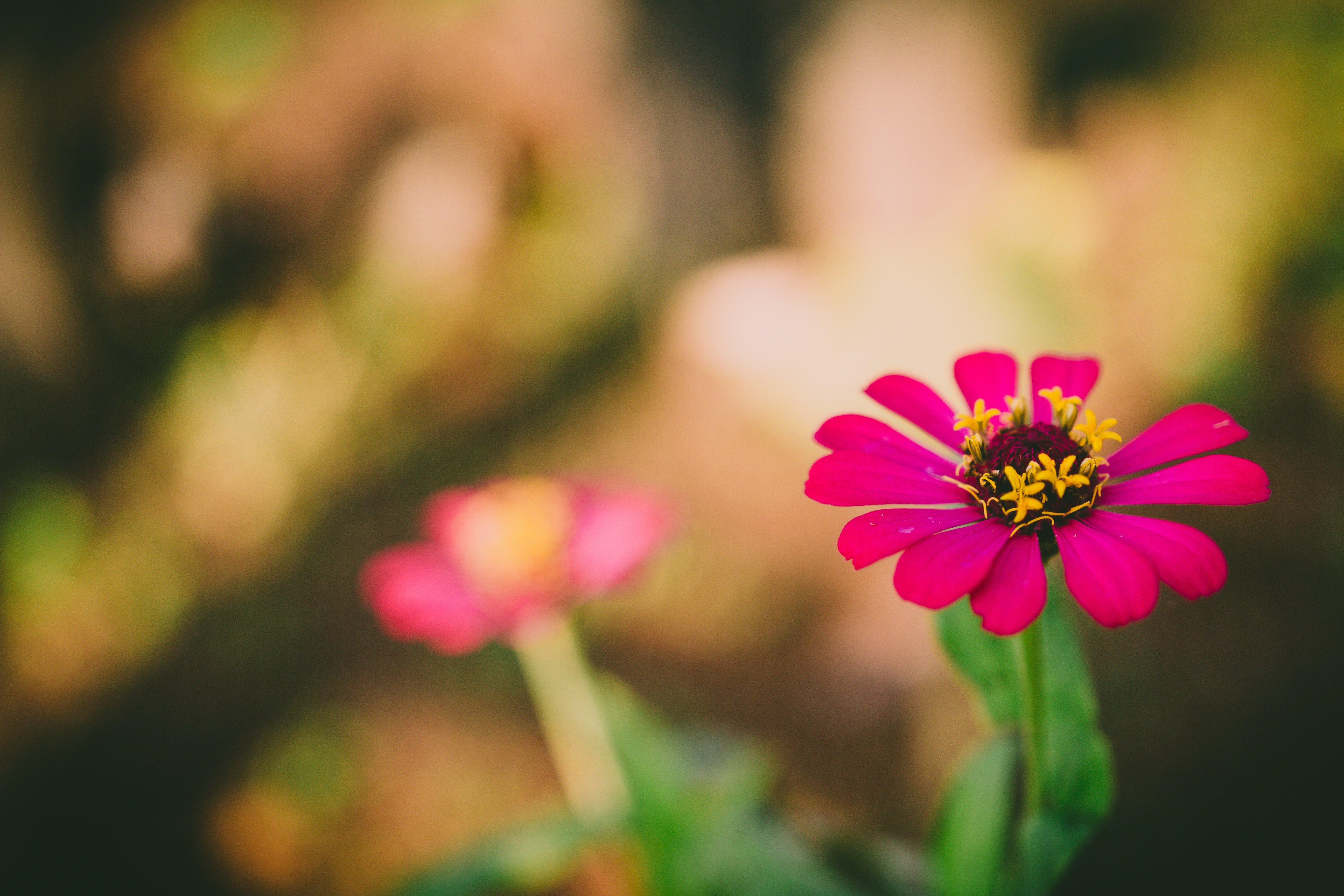 Selective Focus Photography Of Yellow Petaled Flower: Selective Focus Photography Of Pink Petaled Flower During
