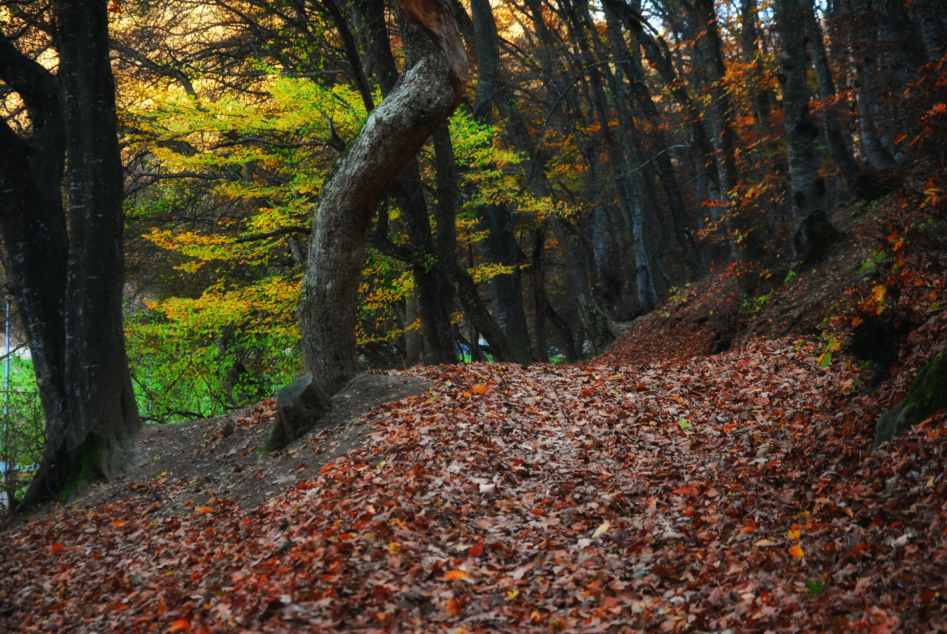 Free stock photo of autumn, autumn leaf, autumn leaves, forest