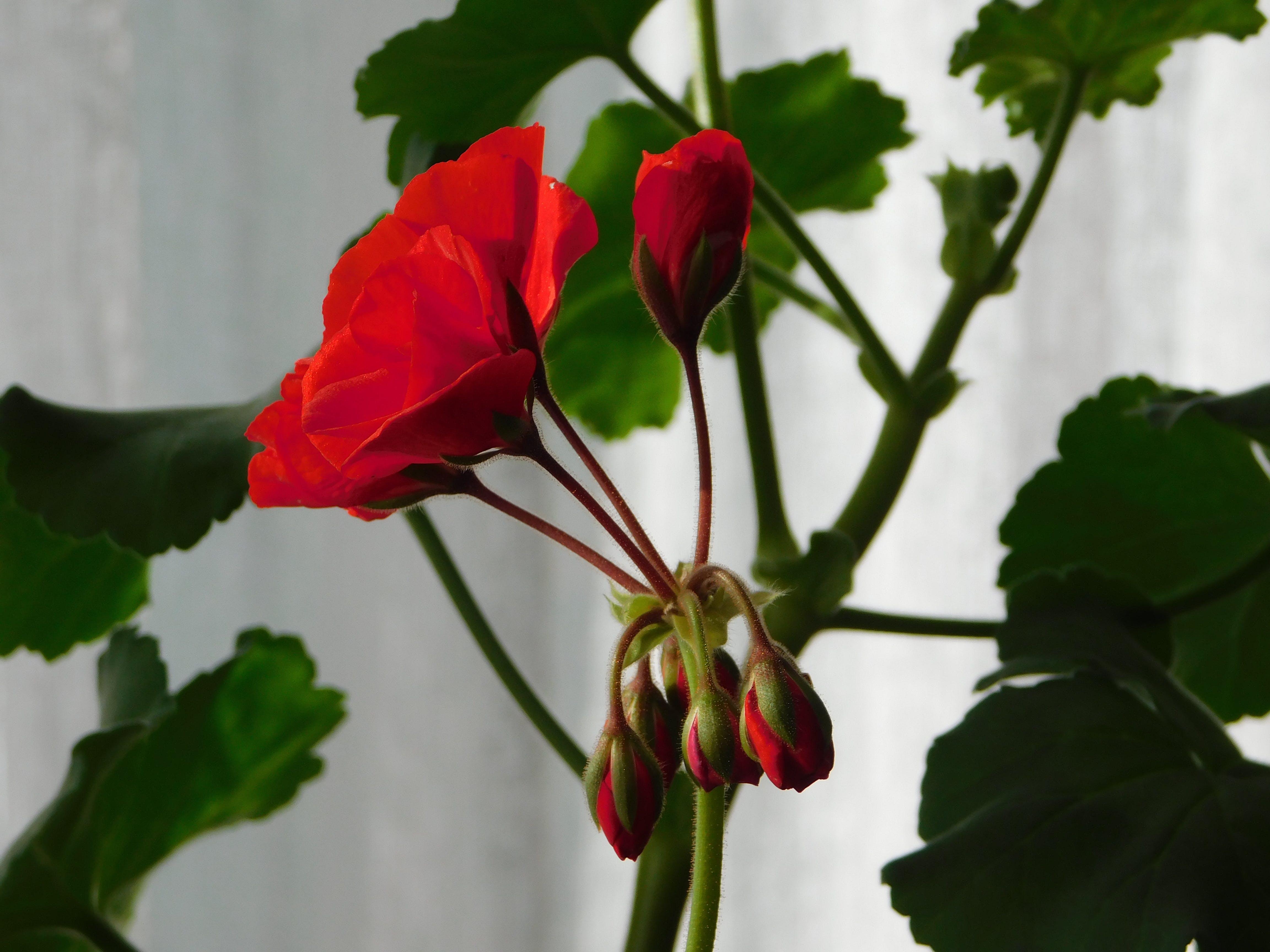 Free stock photo of Geranium Buds