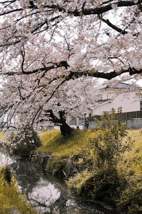 Imagine de stoc gratuită din anotimp, arbore, cădere, cireașă