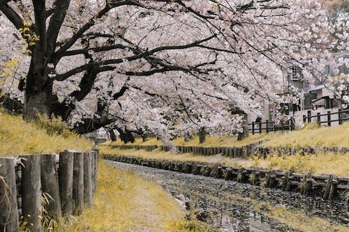 Foto d'estoc gratuïta de flor de cirerer, flora, Japó, riu
