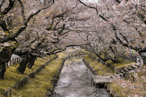 River Between Cherry Blossoms