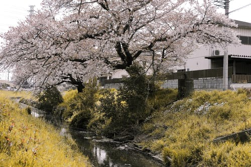 Cherry Blossom Near a Creek