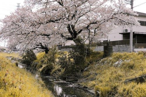 Gratis lagerfoto af flod, flora, japan, japansk kirsebærtræ