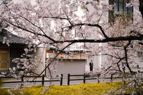 Foto d'estoc gratuïta de a l'aire lliure, arbre, edifici, flor de cirerer