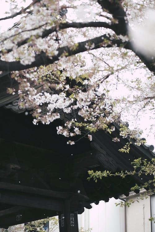 Fotobanka sbezplatnými fotkami na tému čerešňa, čerešňový kvet, flóra, jar