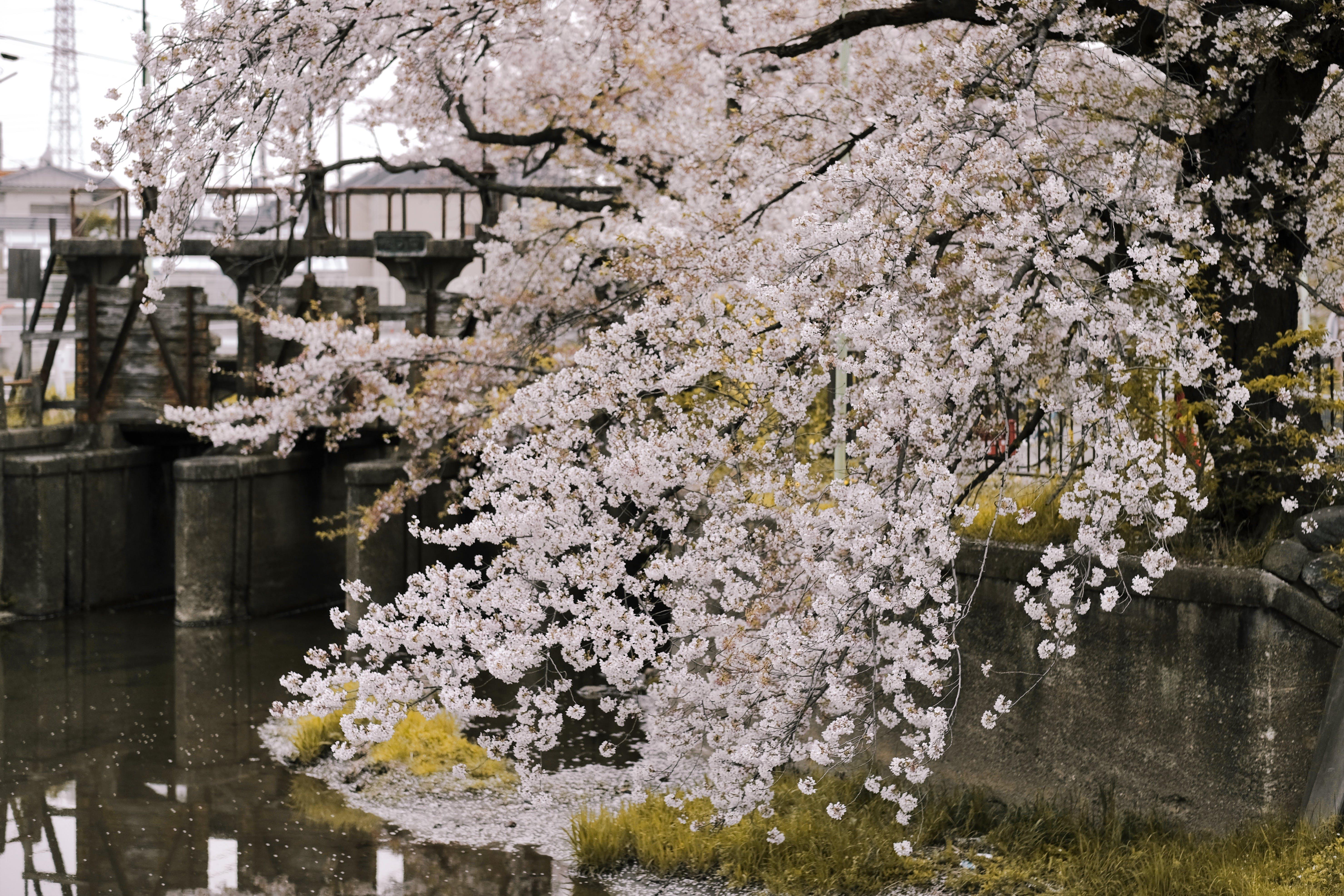 Kostenloses Stock Foto zu blume, flora, japan, kirschblüte