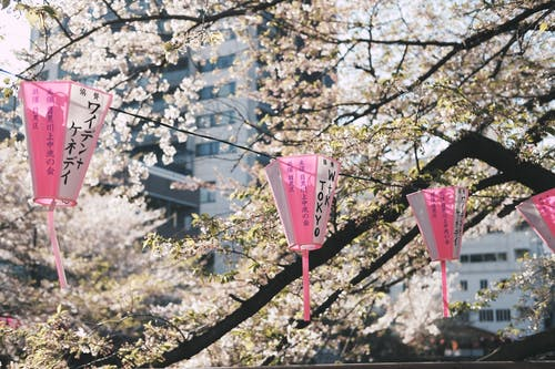 Cherry Blossoms and Hanging Lanterns