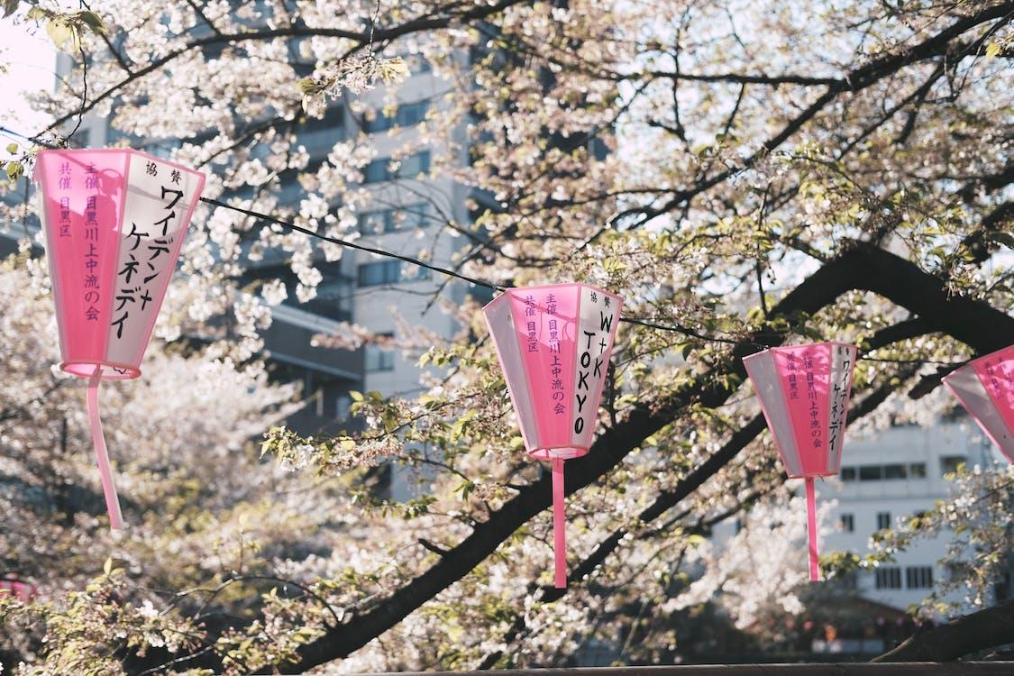 al aire libre, bonito, cerezos en flor