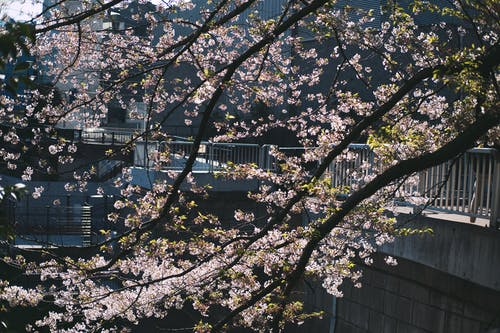 Fotos de stock gratuitas de al aire libre, árbol, cerezos en flor, flor