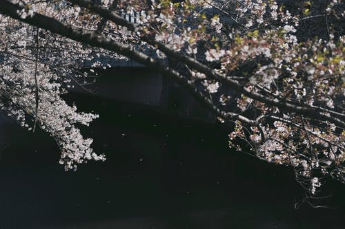 Gratis lagerfoto af blomst, flod, japan, japansk kirsebærtræ