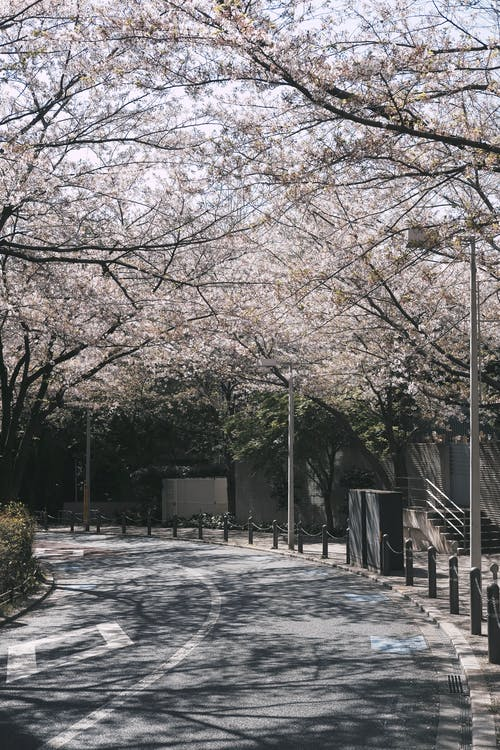 Cherry Blossom Beside the Road