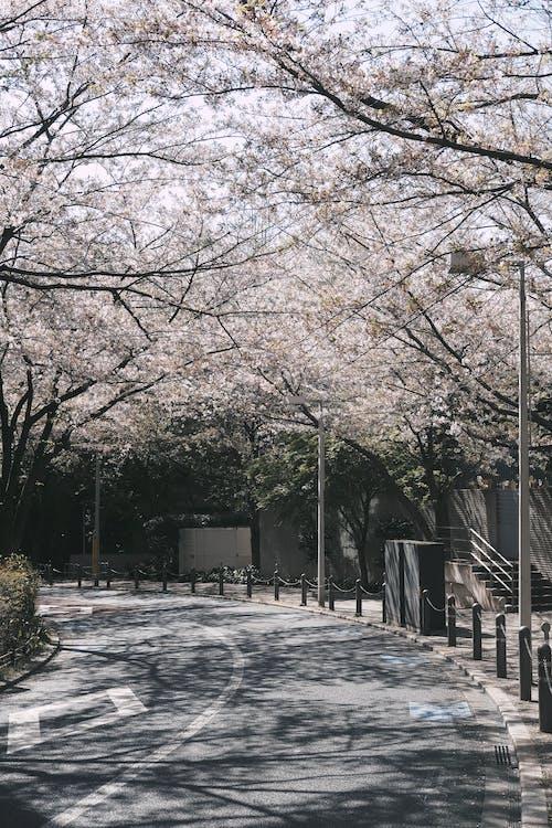 Foto d'estoc gratuïta de carrer, carrer buit, carretera, Flors de cirerer