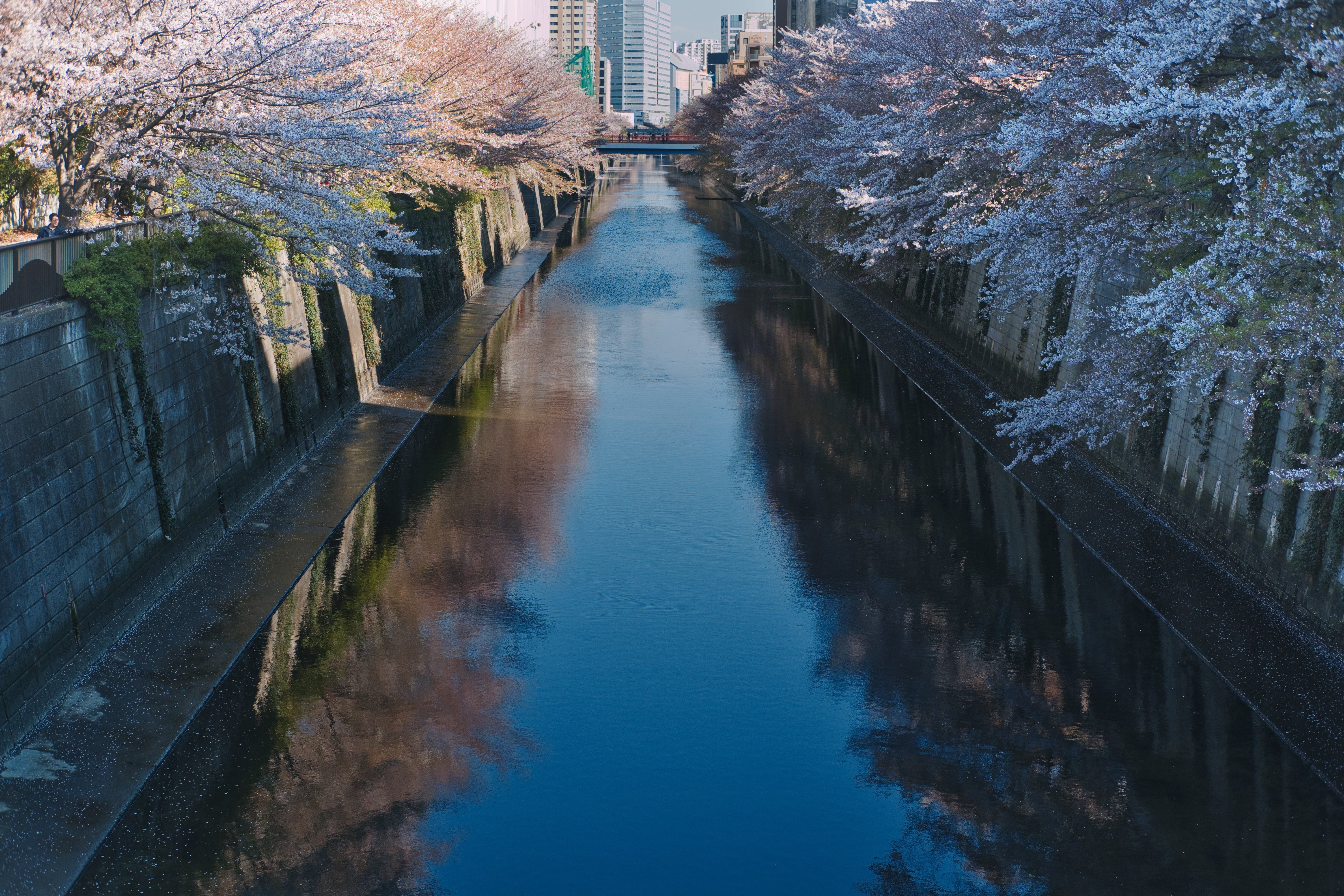 River and Cherry Blossoms