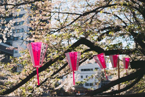 Pink and White Hanging Lanterns Near Cherry Blossom
