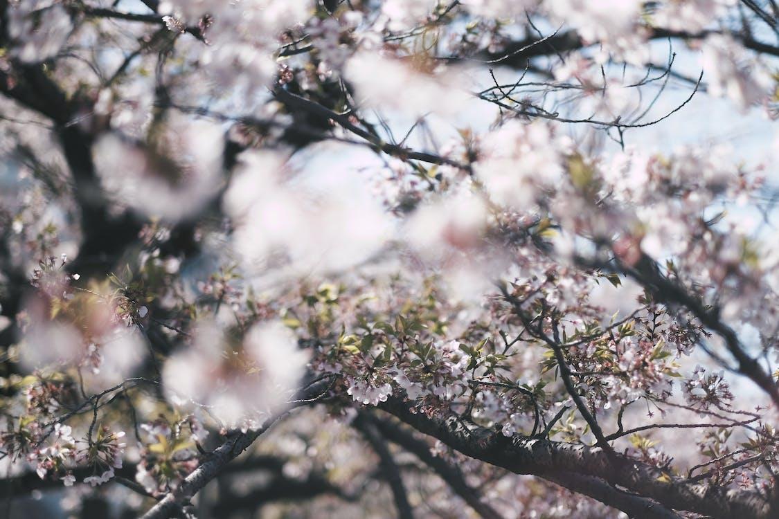 čerešňa, čerešňové kvety, exteriéry