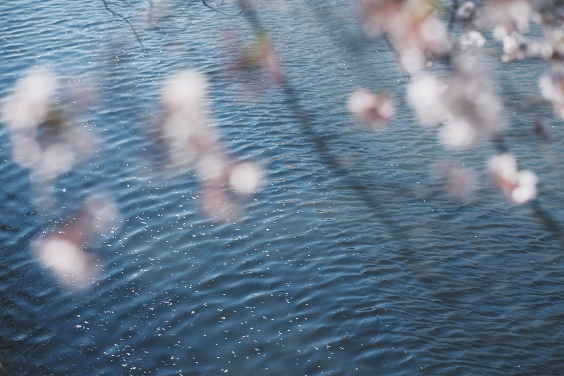 Out of Focus Cherry Blossom Near a Lake