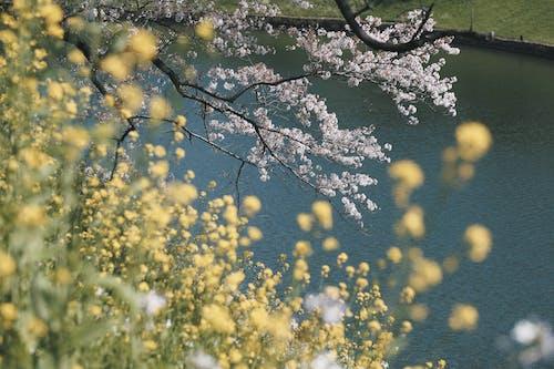 Foto d'estoc gratuïta de a l'aire lliure, arbre, creixement, flor de cirerer