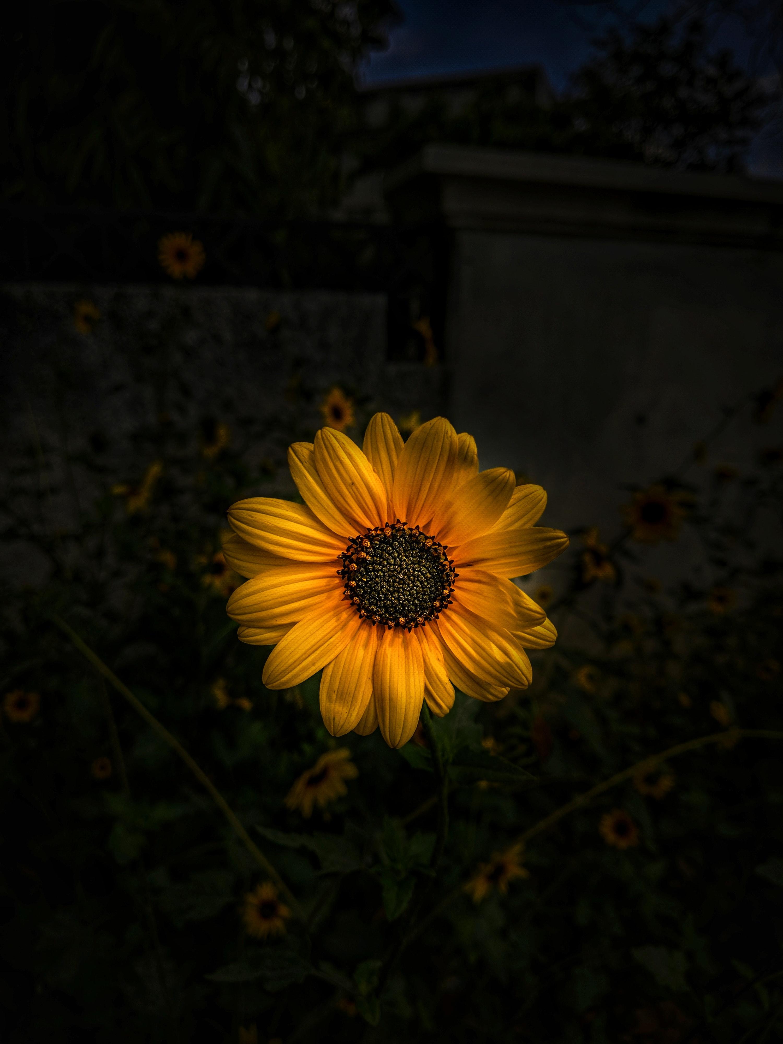Foto Stok Gratis Tentang Berkembang Bunga Bunga Matahari