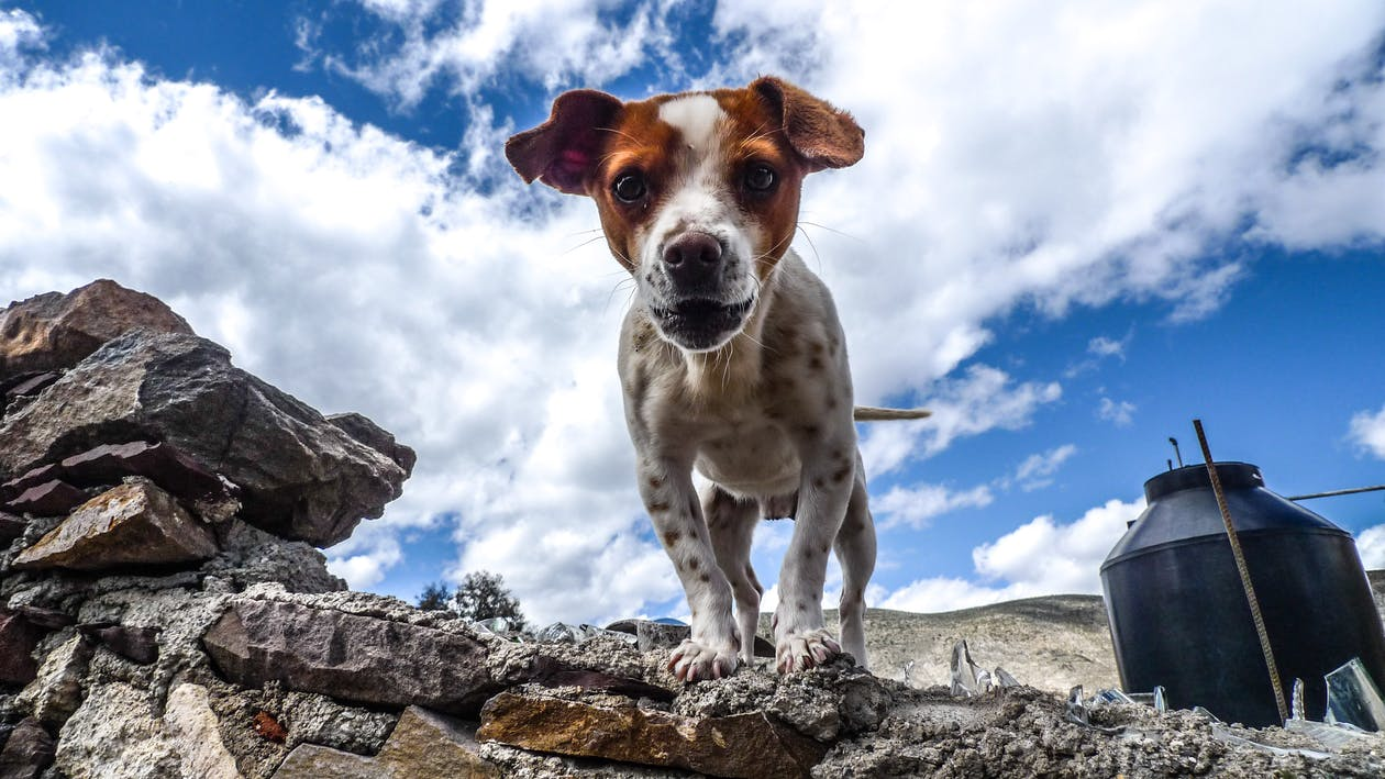 Adult White and Brown Jack Russell Terrier Under White Cloud and Blue Sky