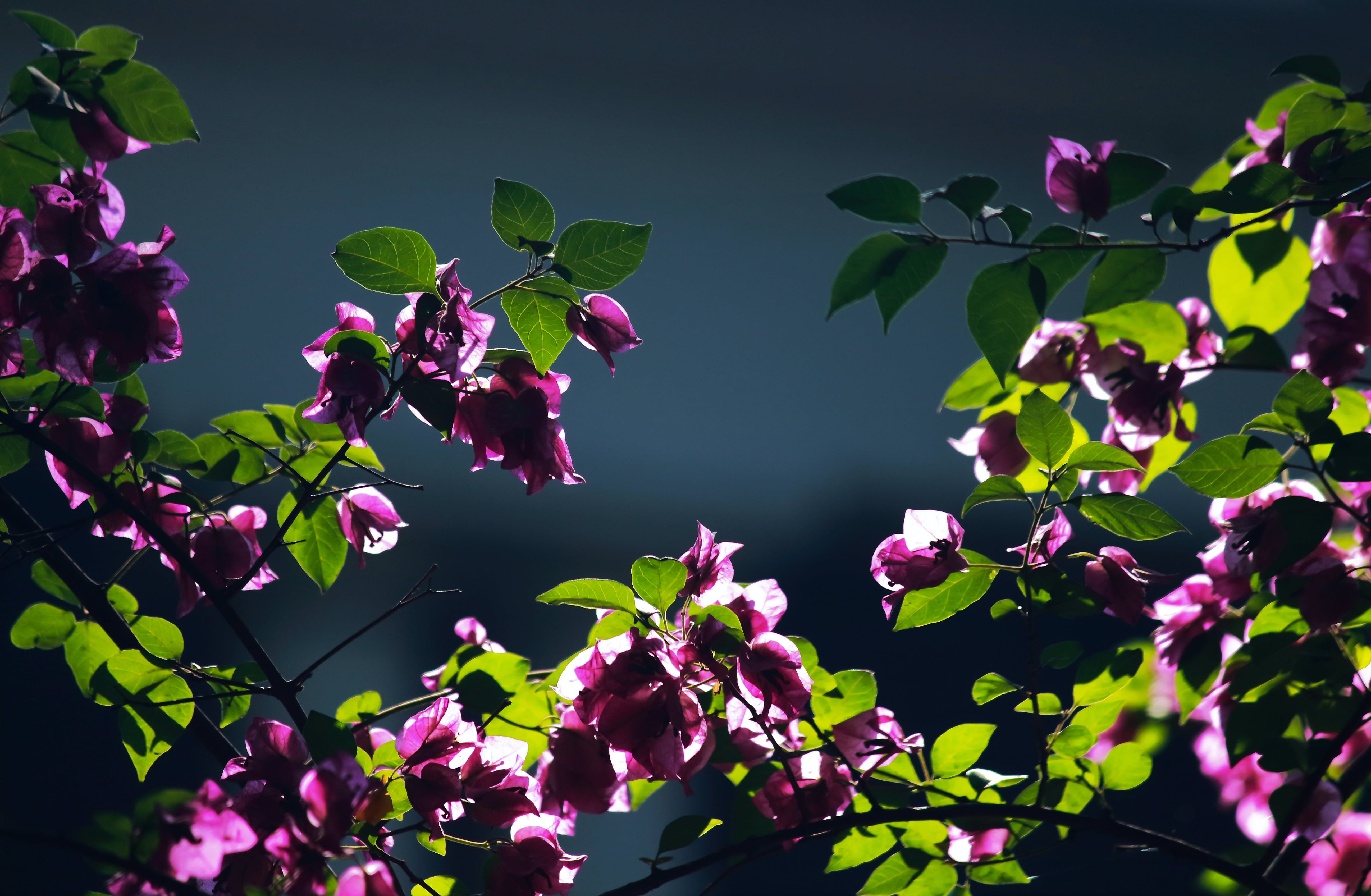Základová fotografie zdarma na téma barva, dekorativní, fialová, flóra