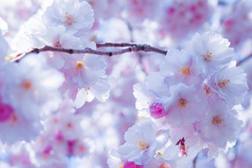 คลังภาพถ่ายฟรี ของ ดอกซากุระ, ดอกไม้, ธรรมชาติ, สว่าง