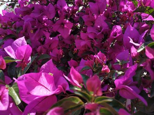 Ilmainen kuvapankkikuva tunnisteilla kasvi, kukka, lila, pinkki