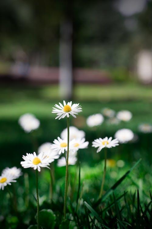 Imagine de stoc gratuită din bem-me-quer, floare, floare de grădină, flori frumoase