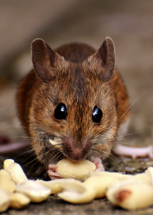 Brown Rat Eating Food
