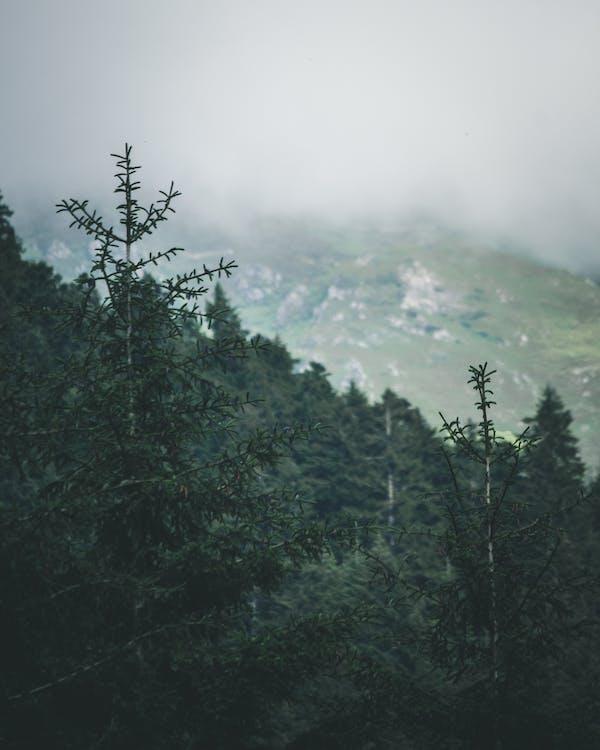 HD-обои, вечнозеленый, гора