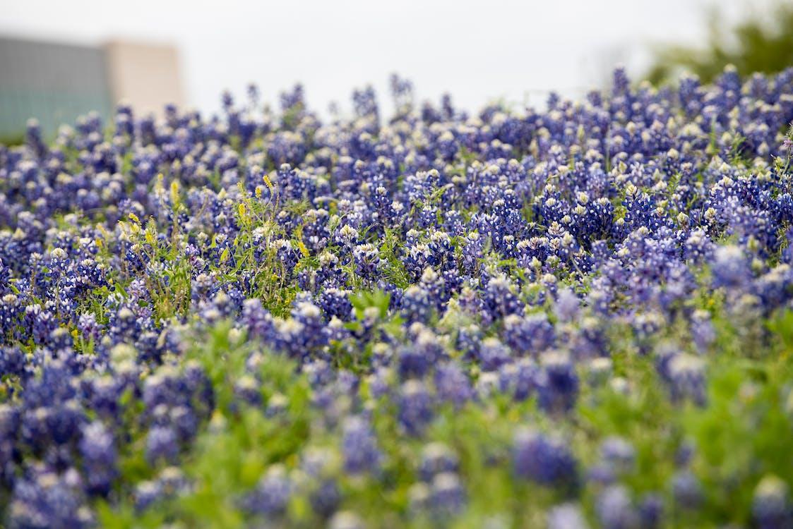 bluebonnets, květiny, luční květiny