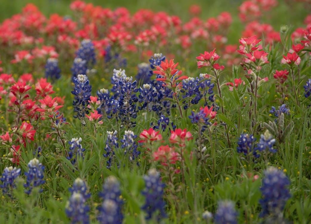bluebonnets, flori, flori roșii
