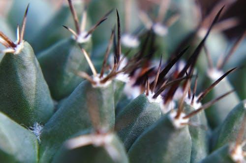 Free stock photo of cacti, cactus, cactus plant, spines