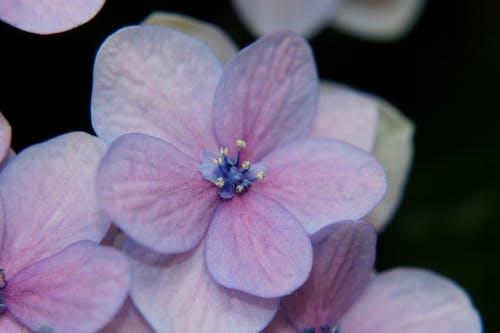 Free stock photo of christmas rose, flower, hydrangea, purple