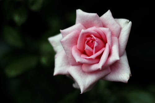 Free stock photo of flower, pink, pink roses, rose