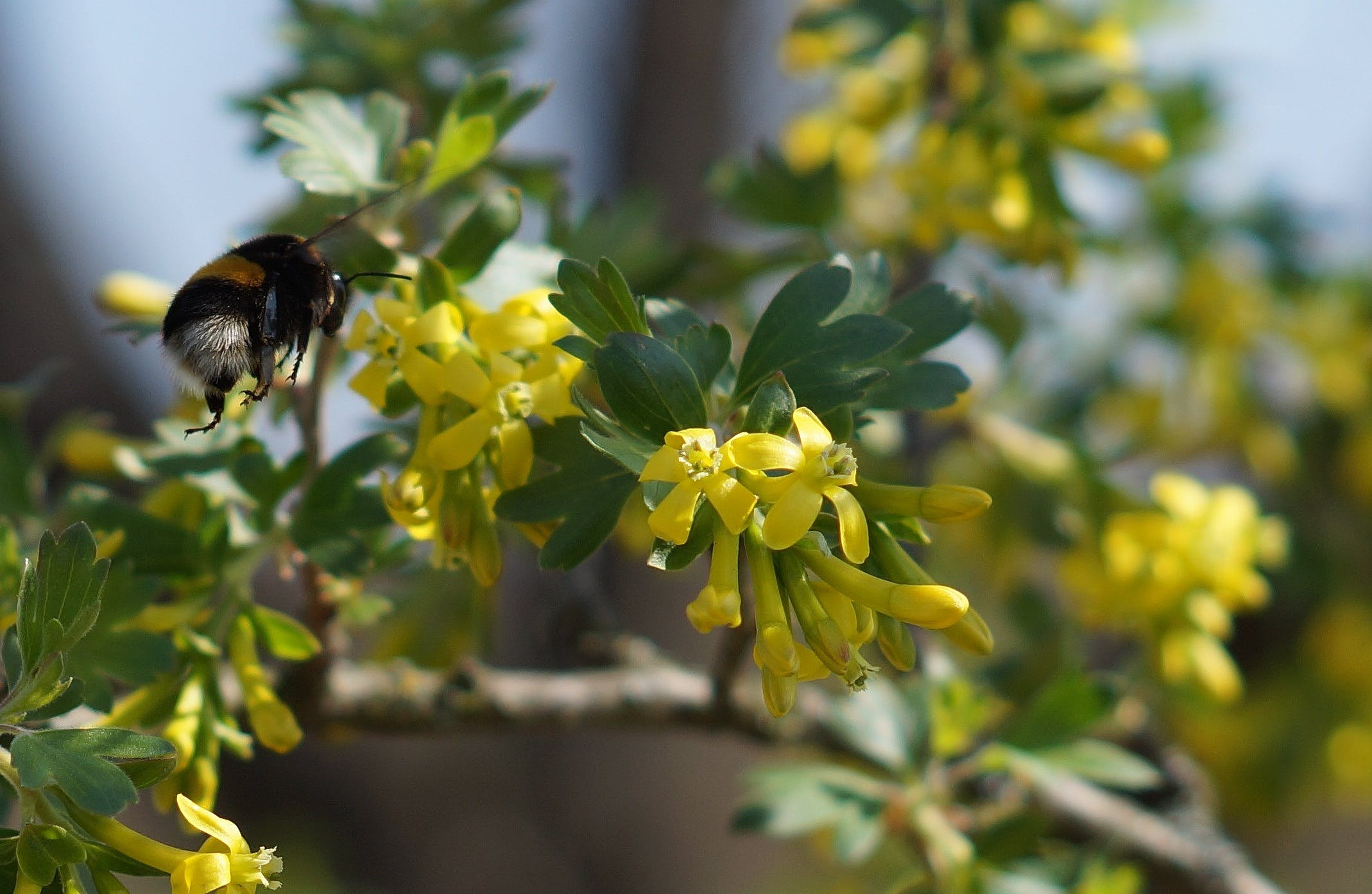 Free stock photo of bumblebee, flowers, pollination, summer