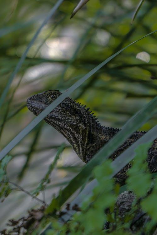 Fotos de stock gratuitas de #animal, #animales, #dinosaurio, #iguana