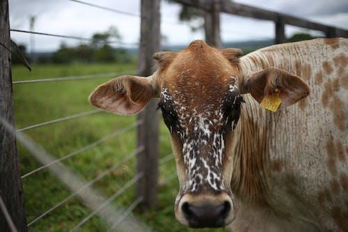 Ảnh lưu trữ miễn phí về bò, bò cái, con bò