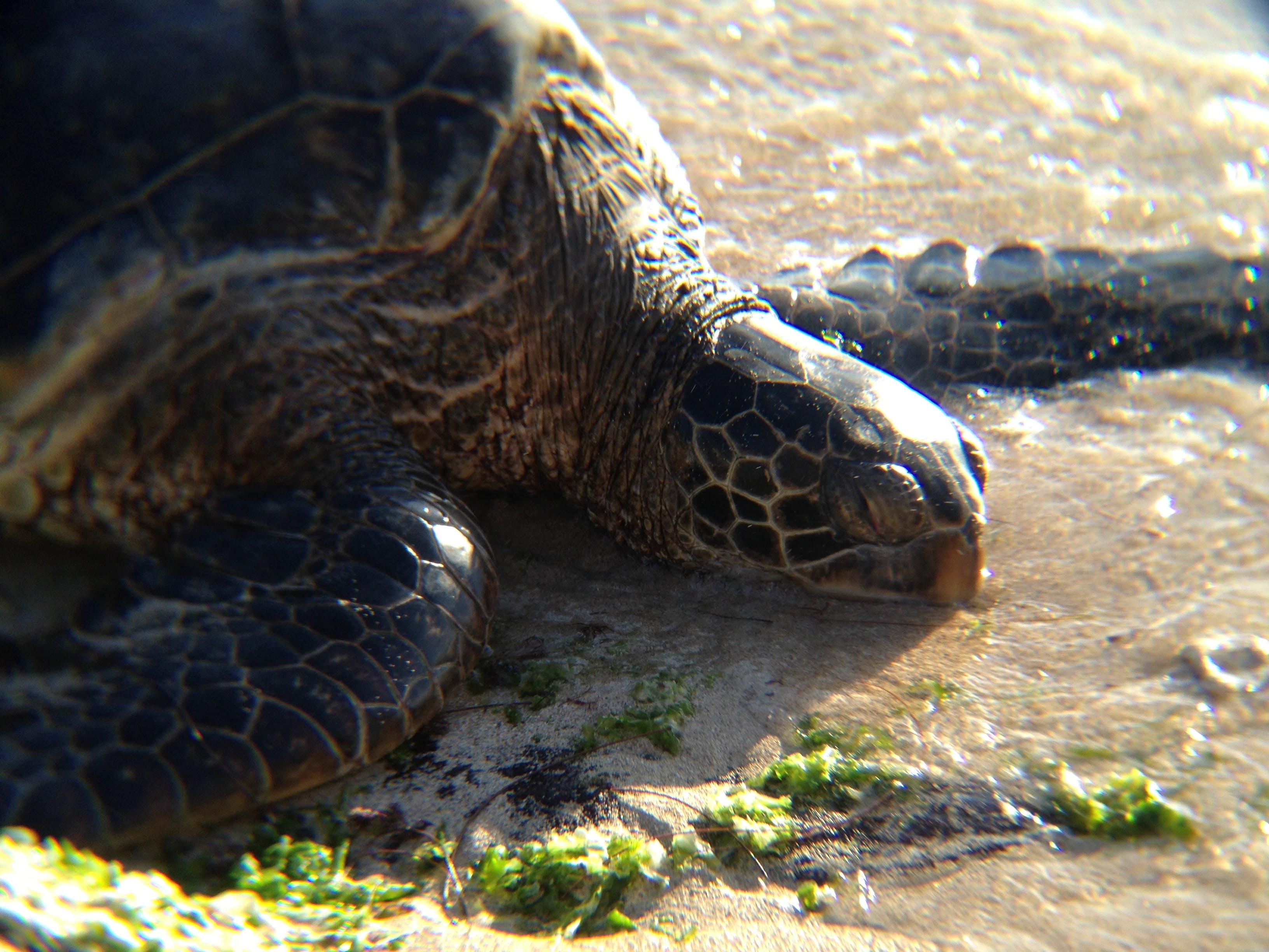 Free stock photo of beach, ocean, sea, turtle