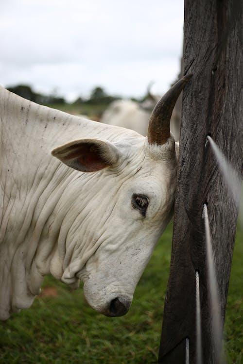 Ảnh lưu trữ miễn phí về bò, bò cái, bò đực